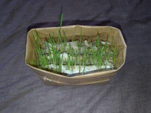 栽培5日目の猫草