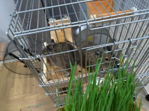 栽培7日目の猫草をデグーに見せてる