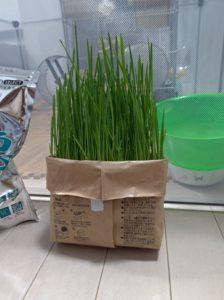 栽培10日目の猫草