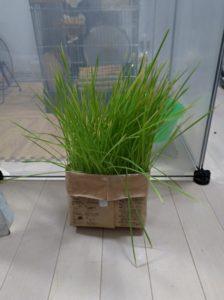 栽培14日目の猫草