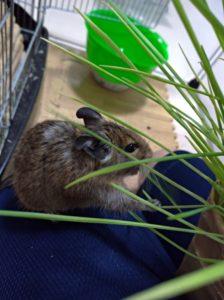 猫草を食べるデグー2