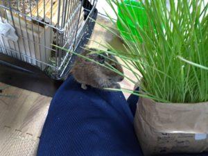 猫草を食べるデグー4