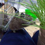 デグーが食べる⁉ 猫草栽培日記 <その2>
