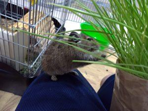 猫草を食べるデグー5