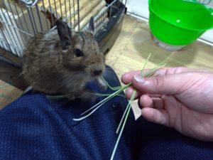 猫草を食べるデグー8