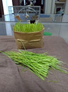 猫草の収穫1