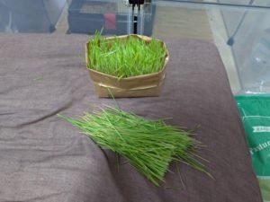 猫草の収穫2