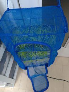 猫草の天日干しネット