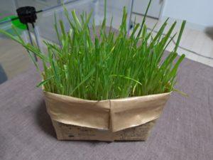 猫草二番刈り1