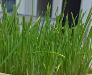 猫草二番刈りのアップ