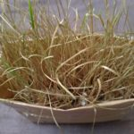 デグーが食べる⁉ 猫草栽培日記 <猫草の二番刈りはとれるのか?>