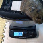 デグーの体重測定